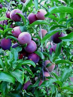 Growing Conditions For Plums: How To Take Care Of Plum Trees By Susan Patterson, Master Gardener Plums are a delectable addition to any home garden. Growing plum trees is not only rewarding but also extremely tasty. Plums are excellent fresh but also make Fruit Garden, Garden Trees, Edible Garden, Garden Plants, House Plants, Plum Garden, Trees And Shrubs, Trees To Plant, Growing Fruit Trees