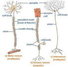 Brain Pictures | Pinterest | Central nervous system, Nervous system ...