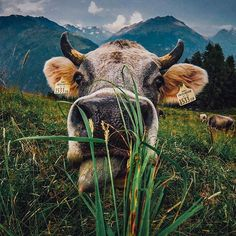 """""""@laurence_ce introducing himself to the Austrian locals. Submit your raddest photos by clicking the link in our profile. #GoPro #Cows #GoProTravel #MOO"""" Photo taken by @gopro on Instagram, pinned via the InstaPin iOS App! http://www.instapinapp.com (07/22/2015)"""