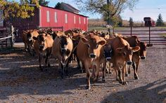 Starting a Dairy Farm from Scratch via Country Magazine