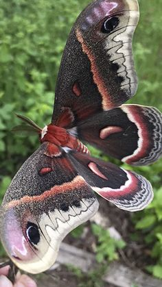 cecropia moth (Hyalophora cecropia)  - Photo by Melody - http://minnesotaseasons.com/Insects/cecropia_moth.html
