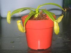 Total newbie-getting started in pitcher plants - Carnivorous ...