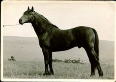 This is Chapman the stallion out of Cholderton Legend and Princess Primrose, just prior to going to London. He was named as one of the most famous stallions in the country. He is named in dozens of the Cleveland Bay magazines of that period.  (thanks to Derick Pearson for photo and information)