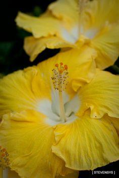 Hibiscus/Hibisco.