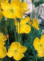 Alpenmohn (Papaver alpinum subsp. rhaeticum) - Beim Alpenmohn handelt es sich um eine kleine Staude mit großen Blüten. Diese Art ist eher zwergwüchsig und blüht gelb. Die Pflanze gedeiht hervorragend zwischen Steinen, auf Geröll, in Mauern und in Trögen. Sie liebt kalkhaltigen Boden und benötigt eine gute Drainage. Ihr bevorzugter Standort ist sonnig und trocken.