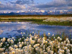 Cottongrass, Denali National Park, Alaska