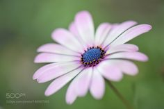 Cape Daisy by TinaC