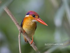Black-backed Kingfisher Photo by Chong Lip Mun on Flickr