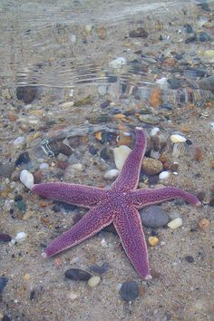 I loved the purple color of this starfish I found at Nauset Beach, Orleans, MA, Cape Cod. As I was helping it make it out to sea before the tide went out, I caught this shot of it below the waves. Purple Love, All Things Purple, Purple Rain, Purple Beach, Purple Stuff, Under The Water, Under The Sea, Water Life, Ocean Creatures