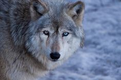 silver wolves - Google Search