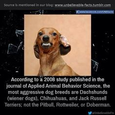 according to a 2008 study published in the journal of Applied Animal Behavior Science, the most aggressive dog breeds are Dachshunds (wiener dogs), Chihuahuas, and Jack Russell Terriers; Aggressive Dog Breeds, Rottweiler Funny, Dangerous Dogs, Unbelievable Facts, Dog Rules, Doberman Pinscher, Jack Russell Terrier, I Love Dogs, Dogs And Puppies