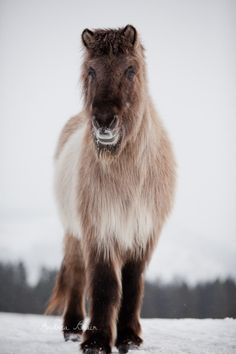 """Sleipnir, the Icelandic horse. Photo by Andrea Blair for her book """"The Senior Horse Project."""""""