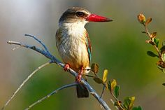 Brown-Hooded Kingfisher in Kruger National Park, South Africa - Jenny Grewal