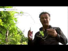 Hoe kan ik een blauweregen snoeien - Tuinieren.nl - YouTube