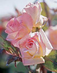 princess di rose