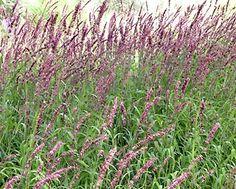 Google Image Result for http://www.goldenhillplants.com/images/melica_altissima-atropurpurea.jpg