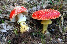 Setas Extremadura : Amanita Muscaria