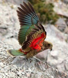 'Kea Taking Wing' Arthurs Pass, Canterbury, New Zealand - under that drab exterior, a flash of beautiful colour. Kinds Of Birds, All Birds, Love Birds, Pretty Birds, Beautiful Birds, Animals Beautiful, Exotic Birds, Colorful Birds, New Zealand Wildlife