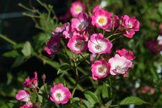 Strauchrose 'Mozart' - Rosa 'Mozart'
