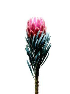 Most Beautiful Pink Flowers with Pictures - Pink Flowers & Plants - Flor Protea, Protea Flower, Cactus Flower, Protea Art, Flower Bouquets, Motif Floral, Arte Floral, Pink Flowers, Beautiful Flowers