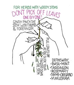 For Basil, Mint, Tarragon, Rosemary, Thyme, Oregano, and Marjoram, Don't pick off the leaves one by one. Pinch the stem and then take the leaves for a healthier plant. [Obvious]