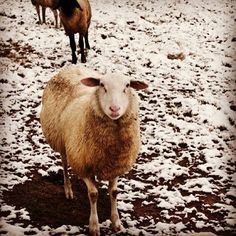 Blackberry Farm: Sheep in the Snow www.blackberryfarm.com