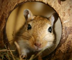 Google Image Result for http://www.humanesociety.org/assets/images/270x224/animals/gerbils/gerbil_in_house_270x224.jpg
