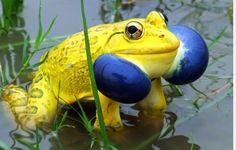 #Indian Bull Frog