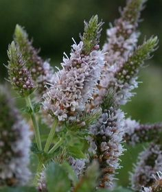 Mentha spicata Spearmint - Google'da Ara