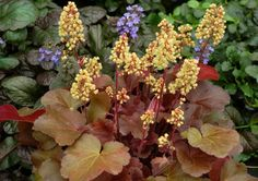 """Heuchera """"Blondie - """"Little Cutie'"""" dwarf - This is the second time I've pinned this one because of the yellow flowers; unusual in a Heuchera!"""