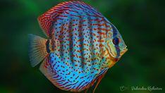 Paletka - ryba słodkowodna znana również pod nazwą potoczną Dyskowiec http://podwodnekrolestwo.pl/paletka-dyskowiec/