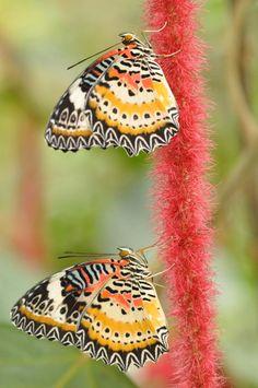 lacewing butterflies climbing a bleeding heart amaranth