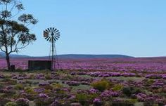 Springtime in the Karoo - our koppie at Karoo View Cottages also comes ablaze of colour come August The Beautiful Country, Beautiful Places, Beautiful Pictures, Smell Of Rain, Old Windmills, Out Of Africa, My Land, Le Moulin, Continents