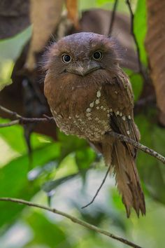 FROGMOUTH  Photo by Johnson Chua: Sri Lanka Frogmouth. My first encounter with a frogmouth.....so stately, so grandly. so not afraid! Love the way it slowly move its head to look at you....gentle look via Frans de Waal - Public Page FB