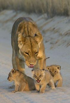 Mamma lion and her cubs