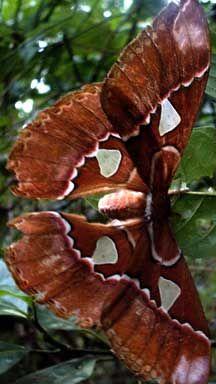 Giant Silkworm, Rothschildia Triloba from Panama