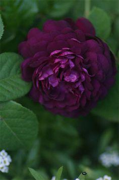 Rosa gallica 'Cardinal Richelieu' (Belgium, before Black Flowers, Purple Roses, Romantic Roses, Beautiful Roses, Heritage Rose, Dark Beauty, Natural Beauty, Rare Roses, Sun Loving Plants