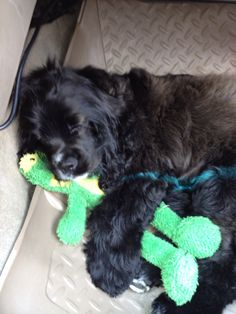 """love black Cocker Spaniels  <3 This looks like on of my long ago fosters, Peppermint or """"Pepper"""" for short"""
