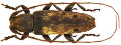 Family: Cerambycidae Size: 15.8 mm Location: Indonesia, South Sulawesi, Botithain leg C.Ribbe, 1882, det. Breuning 1960, Holotype, Coll. Museum Berlin replaced right and left middle leg, right antennal segment replaced 7 to 11: reconstructed Photo: U.Schmidt, 2010