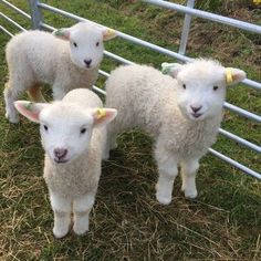 Fluffy Cows, Fluffy Animals, Animals And Pets, Cute Little Animals, Cute Funny Animals, Baby Sheep, Baby Goats, Cute Creatures, Cute Animal Pictures