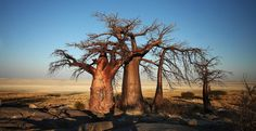 S. African trees
