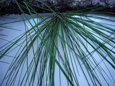 "Pine uses from Green Deane. ""Needles nearest the trunk are higher in Vitamin C."" Also young needles and branch tips."