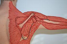 Muscles of the shoulder from the Brown's Chiropractic Office Fan Office Fan, Future Office, Chiropractic Office, Shoulder Muscles, Moose Art, Aurora Sleeping Beauty, Marketing Ideas, Office Ideas, Design Design