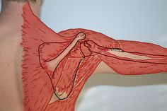 Muscles of the shoulder from the Brown's Chiropractic Office Fan page.