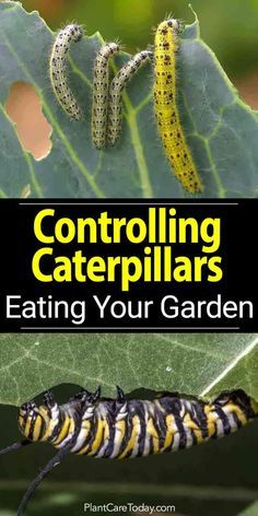 How To Get Rid Of Green Caterpillars On Tomato Plants