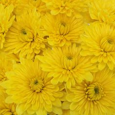 35 best yellow wedding flowers images on pinterest yellow flowers fiftyflowers yellow dahlia style cushion flower mightylinksfo