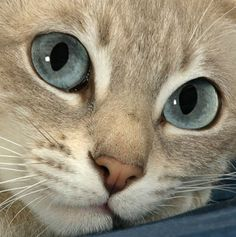 I think this is a Tonkinese cat, isn't she adorable.