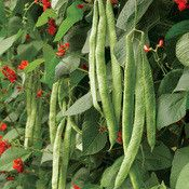 75-95 days. Scarlet Runner Bean was introduced sometime before 1750. This is the most famous and widely grown runner bean. Runner beans are native to Mexico and Central America where they thrive in co