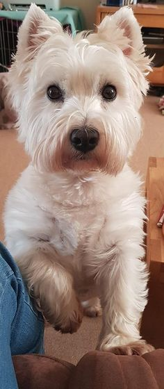 Shona wanted to let me know I was three seconds late putting out her dinner 😄😄 Terriers, Terrier Dogs, Beautiful Dogs, Animals Beautiful, Cute Animals, Life Is Ruff, Juki, West Highland Terrier, White Terrier