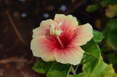 Cómo podar Hibiscus - http://www.jardineriaon.com/como-podar-hibiscus.html #plantas